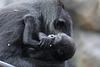 Shiras Tochter Wela (Zoo Frankfurt)