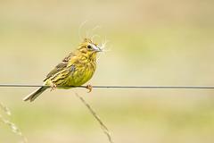 Dame Bruant jaune veut un nid douillet pour ses petits