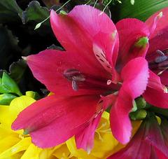 Lys des Incas / lily