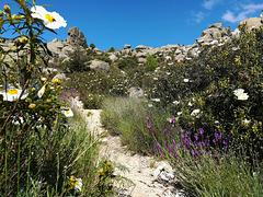 Dusty path, granite, cistus and lavender.