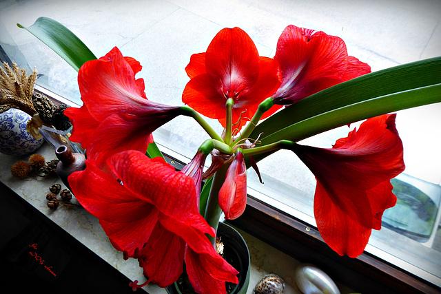 ... jetzt hat sie fünf Blüten und eine Knospe (2 x PiP)