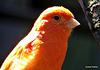 Cage Bird.