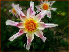 Dahlia Honka................Passez une belle journée de mardi !