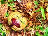 1 (11)a..austria herbst autumn ..kastanie..chestnut