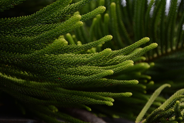 Azores, The Island of Pico, The Tips of the Branches of Araucaria