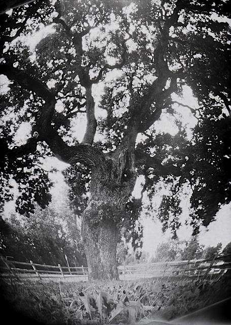 Veronda-Falletti Oak