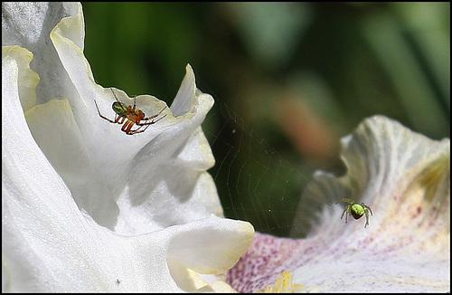 Araignées concombre (1)