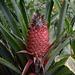 Azores, The Island of Pico, Local Wild Pineapple