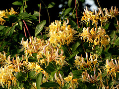 Honeysuckle    Kamperfoelie