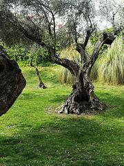 Gnarled olive tree.