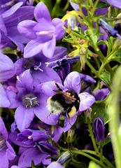 Pollen Laden Bee!