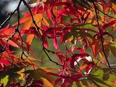 Changes in Acer palmatum