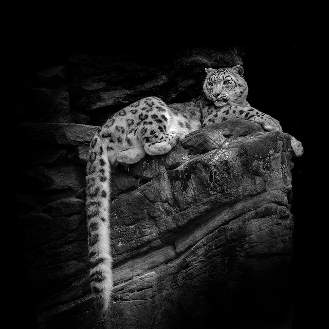 Snow Leopard - resting