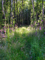 a Forest full of Digitalis