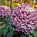 Luxor Chrysanthemum
