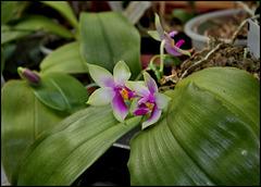 Phalaenopsis bellina (2)