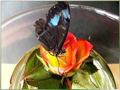 Blauer Morphofalter auf Rose. ©UdoSm