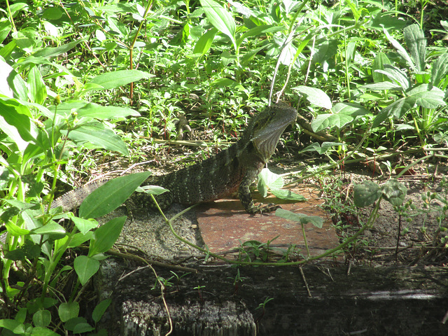 Lizard 0417 2173