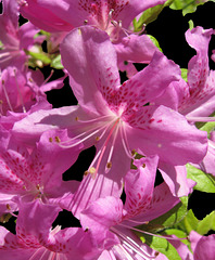 Azaleas on Black