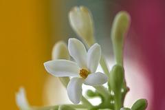 La vilaine fleur de papayer mâle