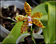 Phalaenopsis fasciata (2)