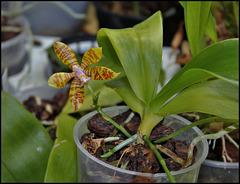 Phalaenopsis fasciata