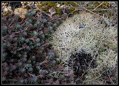 Cladonia uncialis versus Sedum(2)