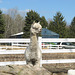 HHF says the little North American alpaca