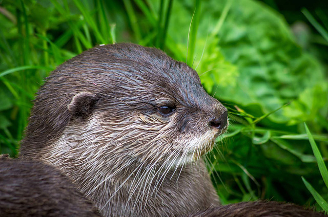 Otter close up.2jpg