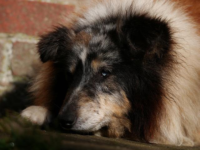 Shetland  Sleepdog
