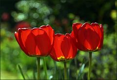 Tulpenmonat
