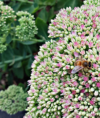 A bee at work