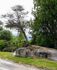 Tree On A Rock.