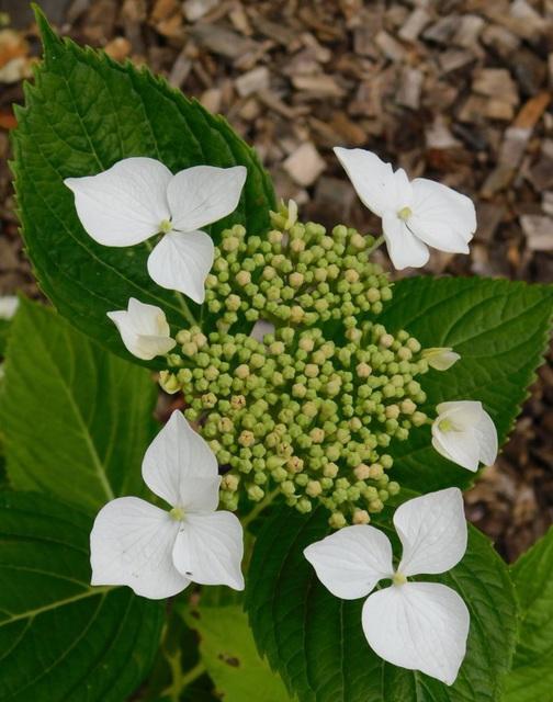 Hydrangéa, famille des hortensias