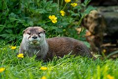 Otter7