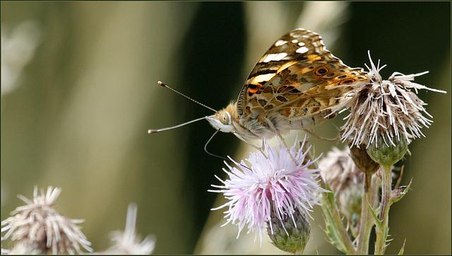 fil(et) à papillons - Page 6 39052638.cd077f90.640