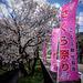 Kan'ō 観桜.
