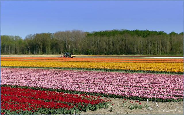 Proud of our Tulips...