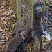 Otters which seem to enjoy climbing fences.