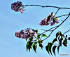 Lilac On Our Tree,