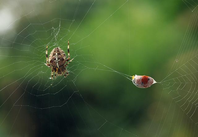 Spider with Ladybird (Ladybug)