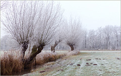 Pollard Willows with Hoarfrost...