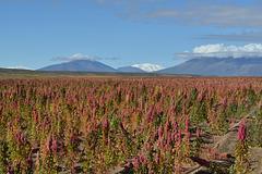 Bolivian Altiplano, Quinoa Plantation