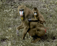 Mandrill Mom & Kid