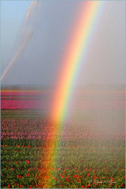 Rainbow over the Coloured Tulip Fields...