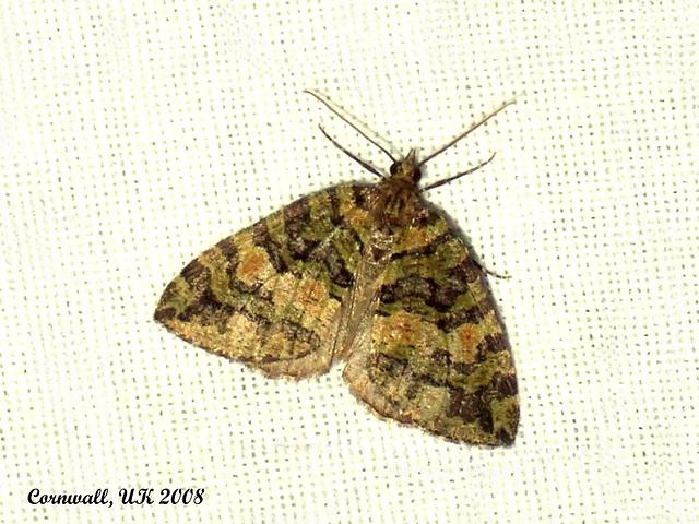 1777 Hydriomenia furcata (July Highflyer)