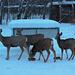 Mule Deer Having Breakfast