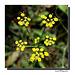 Fleur d' Aneth