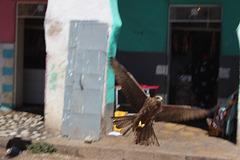 A Swooping Kite in Gidir Magala, Harar