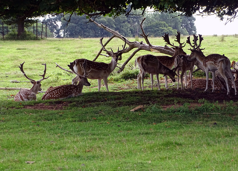 Attingham Park Deer